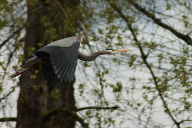 Blue Heron at Hume Park