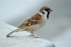 Tree_Sparrow_August_2007_Osaka_Japan