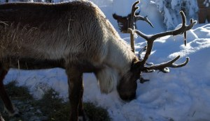Grouse Mountain Dec 2015 058